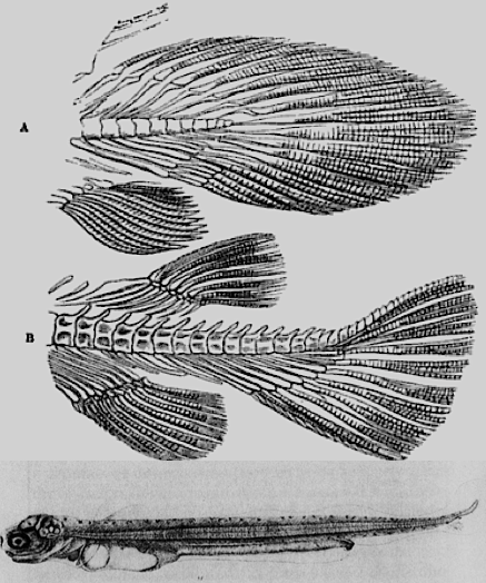 Fig 1 - Agassiz's fishes
