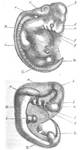 Fig 2 - Darwin's embryos