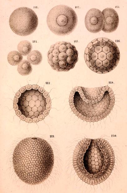 Fig 3 - Haeckel's gastraea